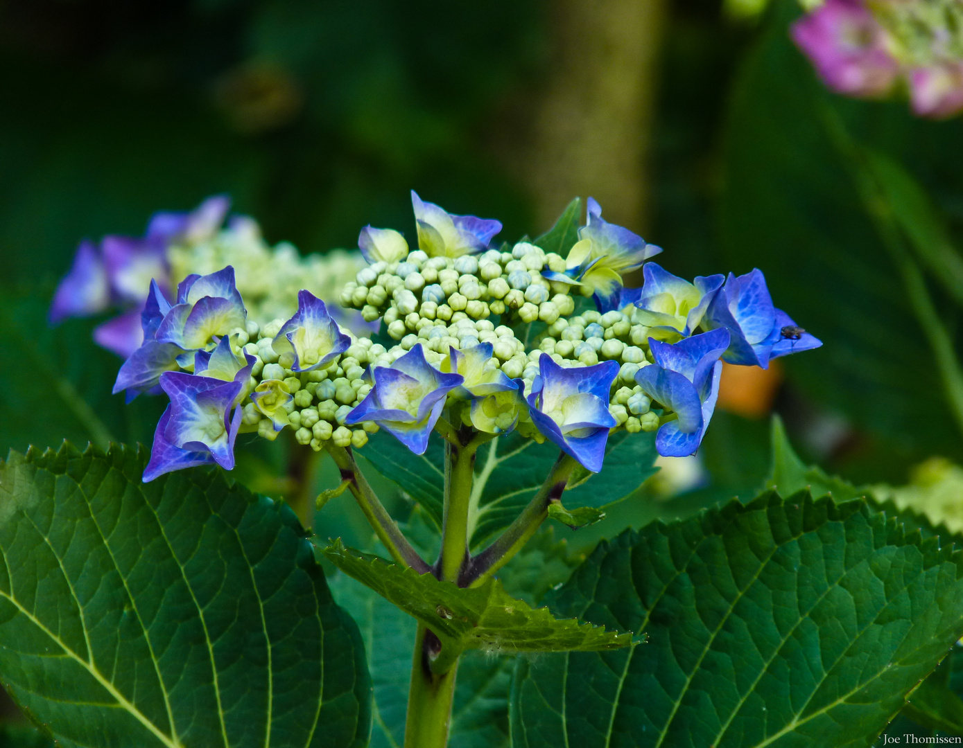 Blue Hortensia Blooms