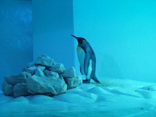 Blue ice Pinguin