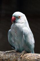 Blue Indian Parrot