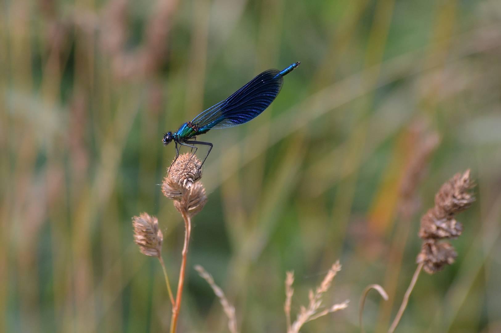 Blue libeller