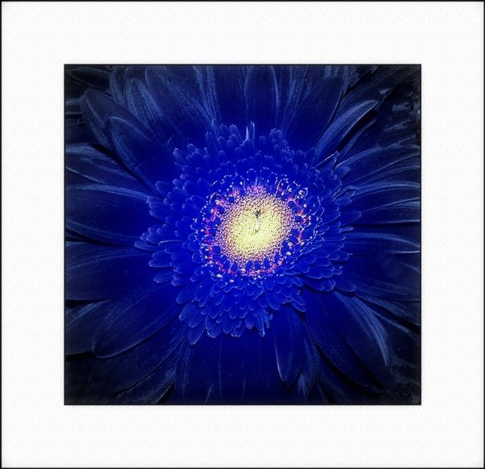 Blue Lilie