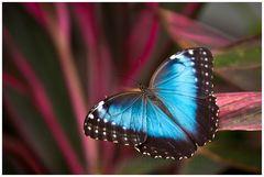 Blue Morpho ....