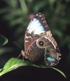 Blue Morpho, a bit the worse for wear
