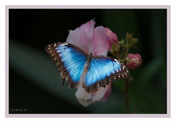 Blue Morpho - Himmelsfalter
