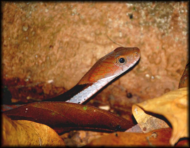 Blue-necked water snake (Macropisthodon rhodomelas)