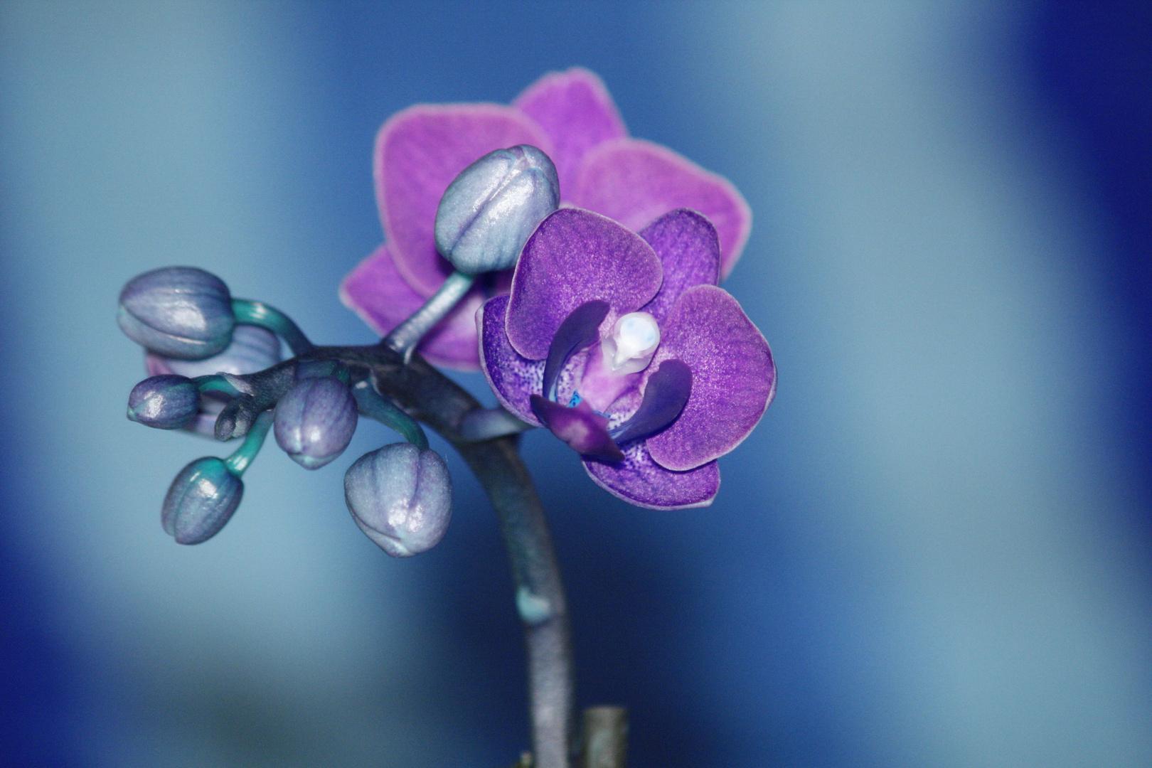 blue orchi