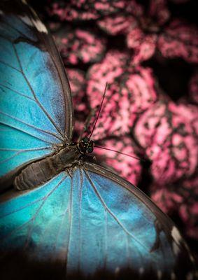 Blue Pink Morpho