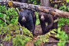 Blue River Lake, BC - Canada 2011 - Blackbear