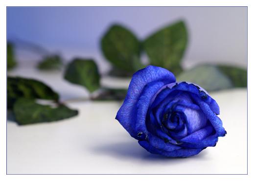 blue rose one.....