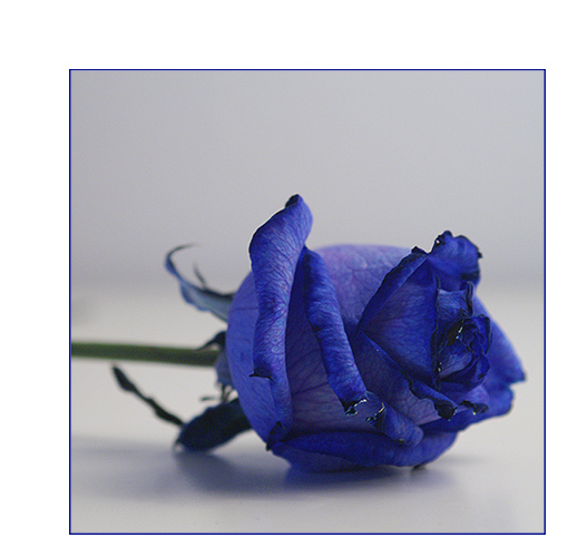 blue rose two.....for .....