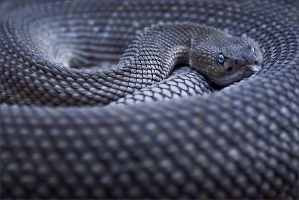 blue serpente