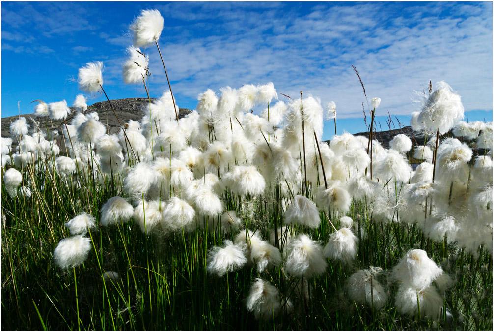 [...Blue sky and cotton gras]