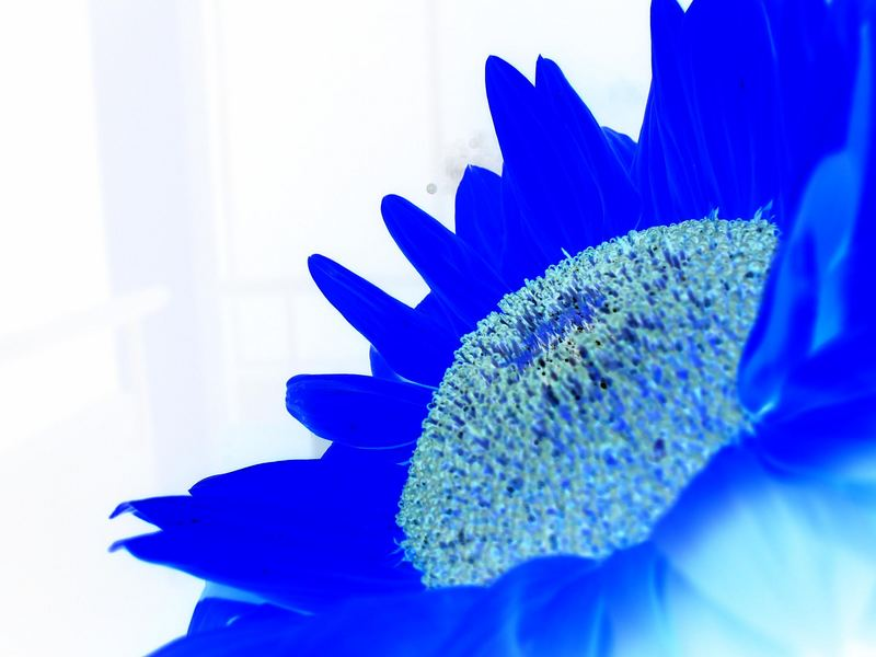 Blue Sunflower