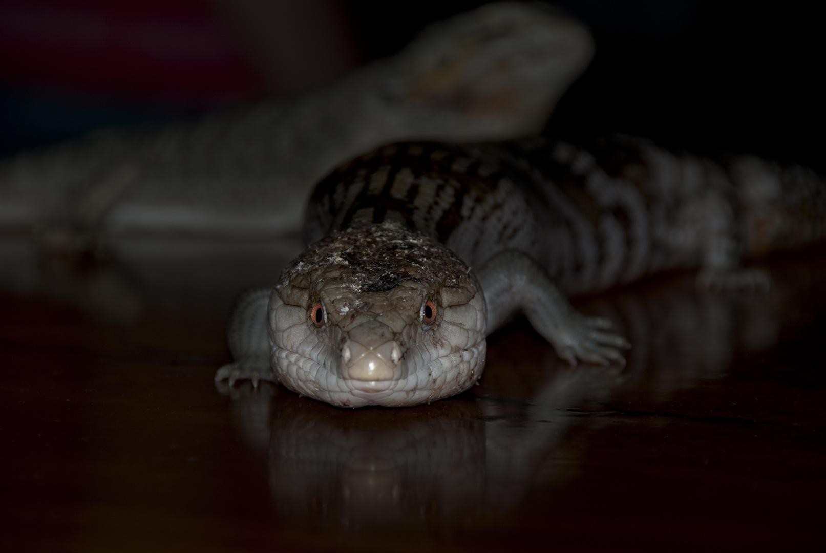 Blue Tongue Dragon