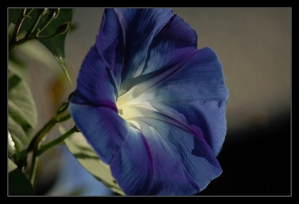 ~blue velvet~