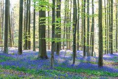 Bluebells, Belgien