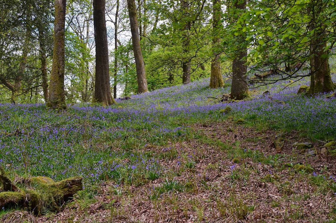 Bluebells in Ambleside