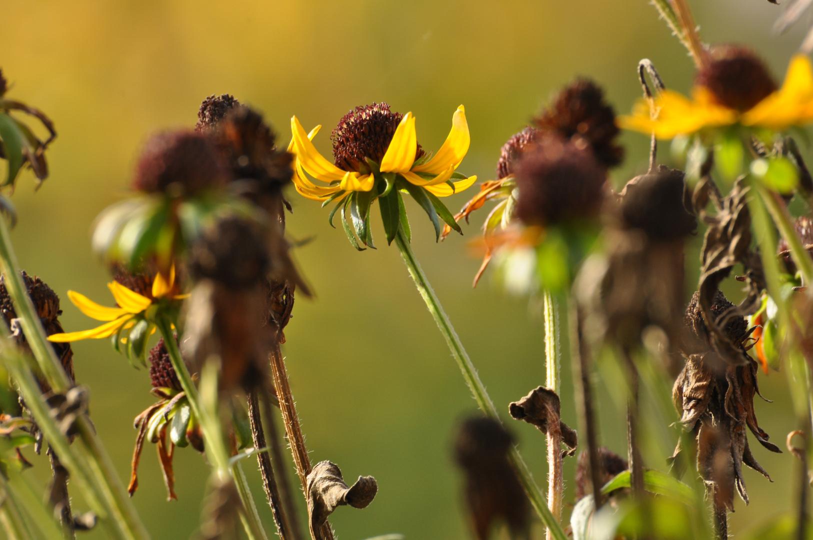 Blühen und Verwelken