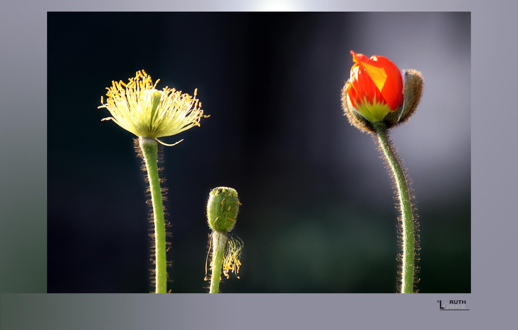 blühen & verblühen