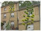 Blühende Agave im Botanischen Garten in Karlsruhe