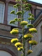 Blühende Aloe