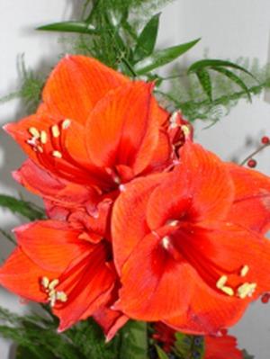 Blühende Amaryllis