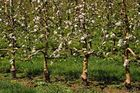 Blühende Apfelbäume ...
