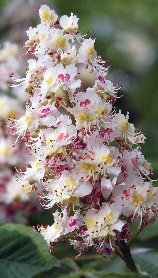 Blühende Apfelblüte