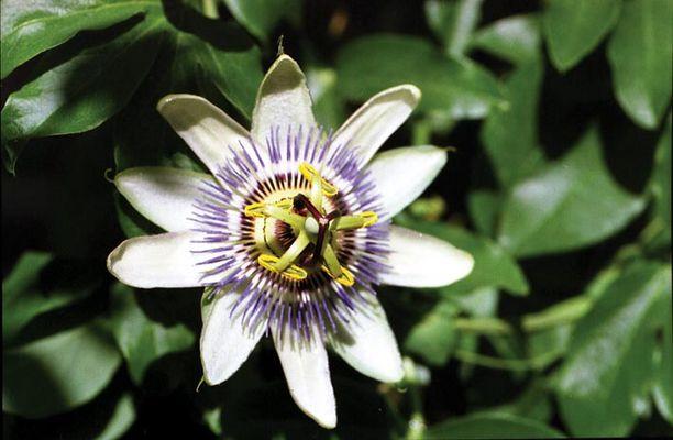 Blühende Caerulea. Die Blume ist ca. 1m hoch. Die Blüten sind nur wenige Tage offen.