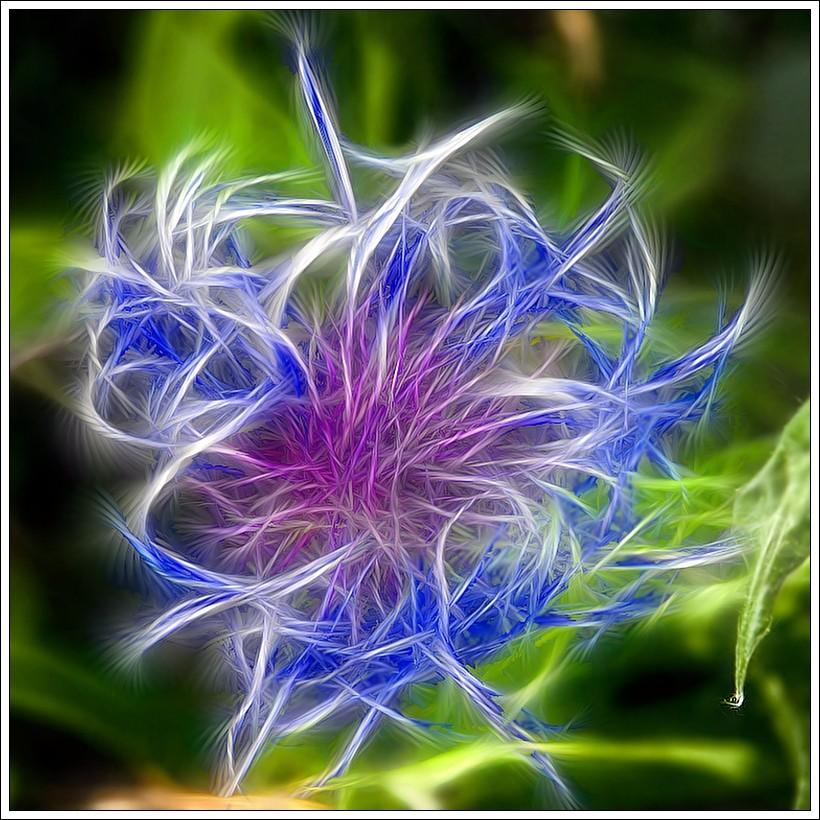 Blühende Distel