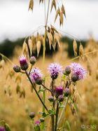 Blühende Disteln im Haferfeld