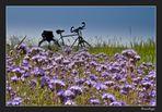 Blühende Disteln im leichtem lila