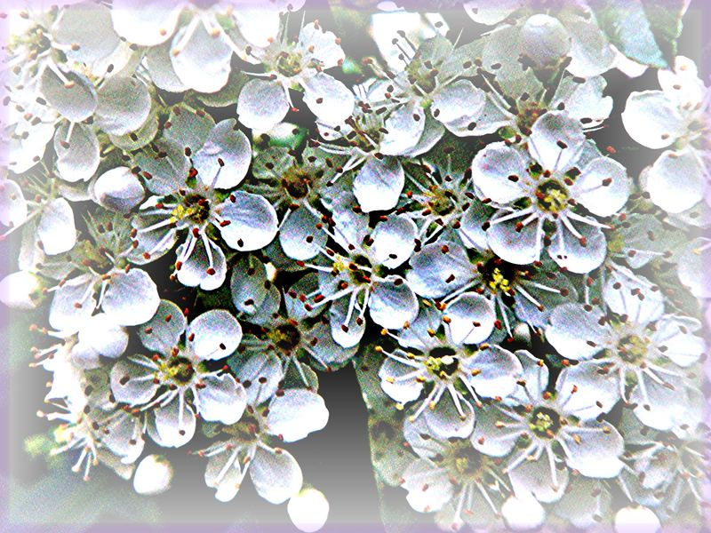 Blühende Hecke