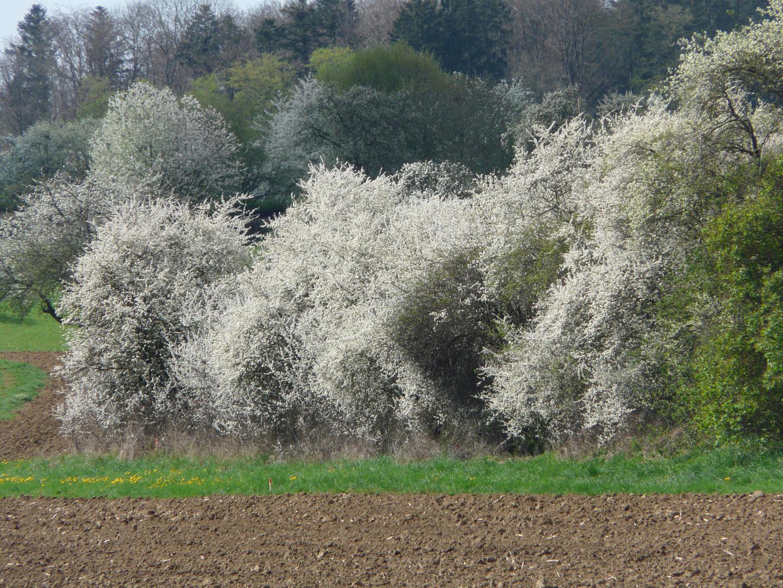 Blühende Hecke im April