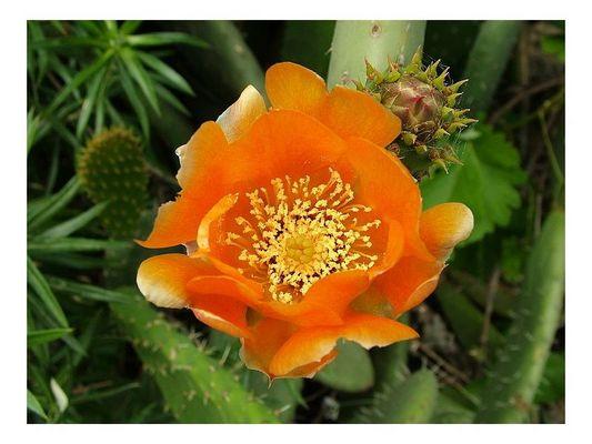 Blühende Kaktus-Feige