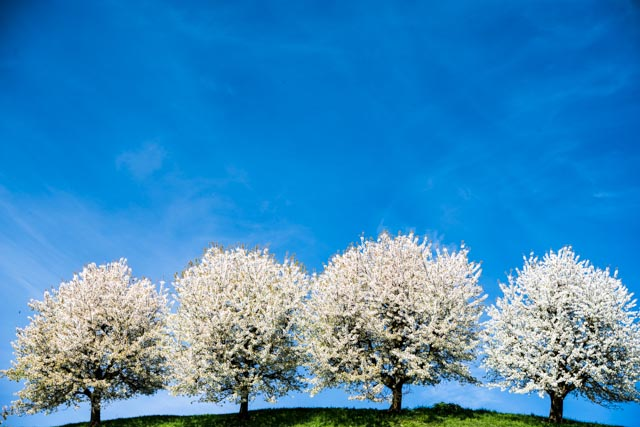 Blühende Kirschbäume im Fricktal