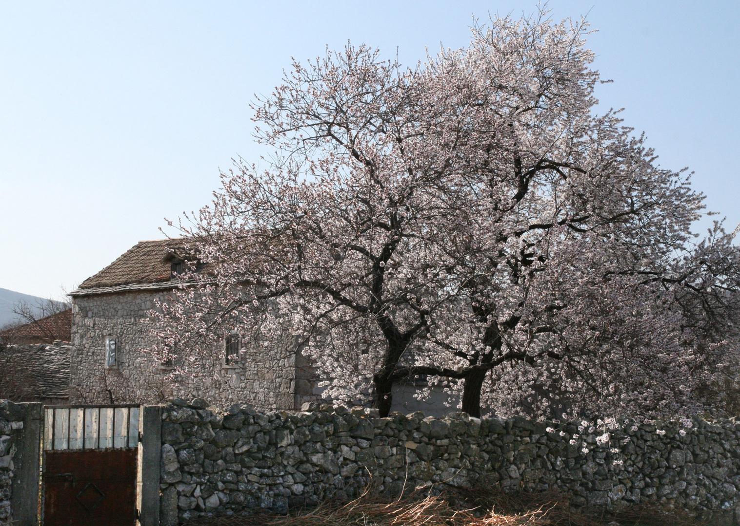 Blühende Mandelbäume im März