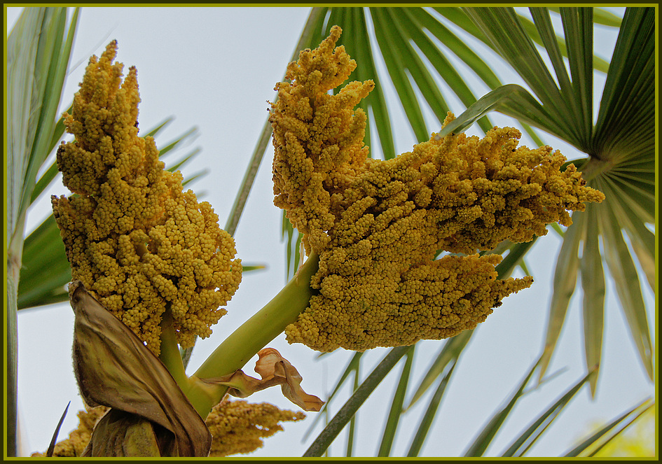 bl hende palme foto bild pflanzen pilze flechten bl ten kleinpflanzen. Black Bedroom Furniture Sets. Home Design Ideas
