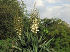 Blühende Palme im Garten Sommer 2012
