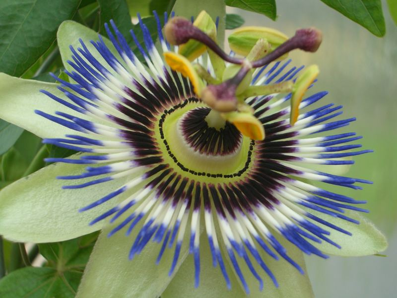 Blühende Passionsblume
