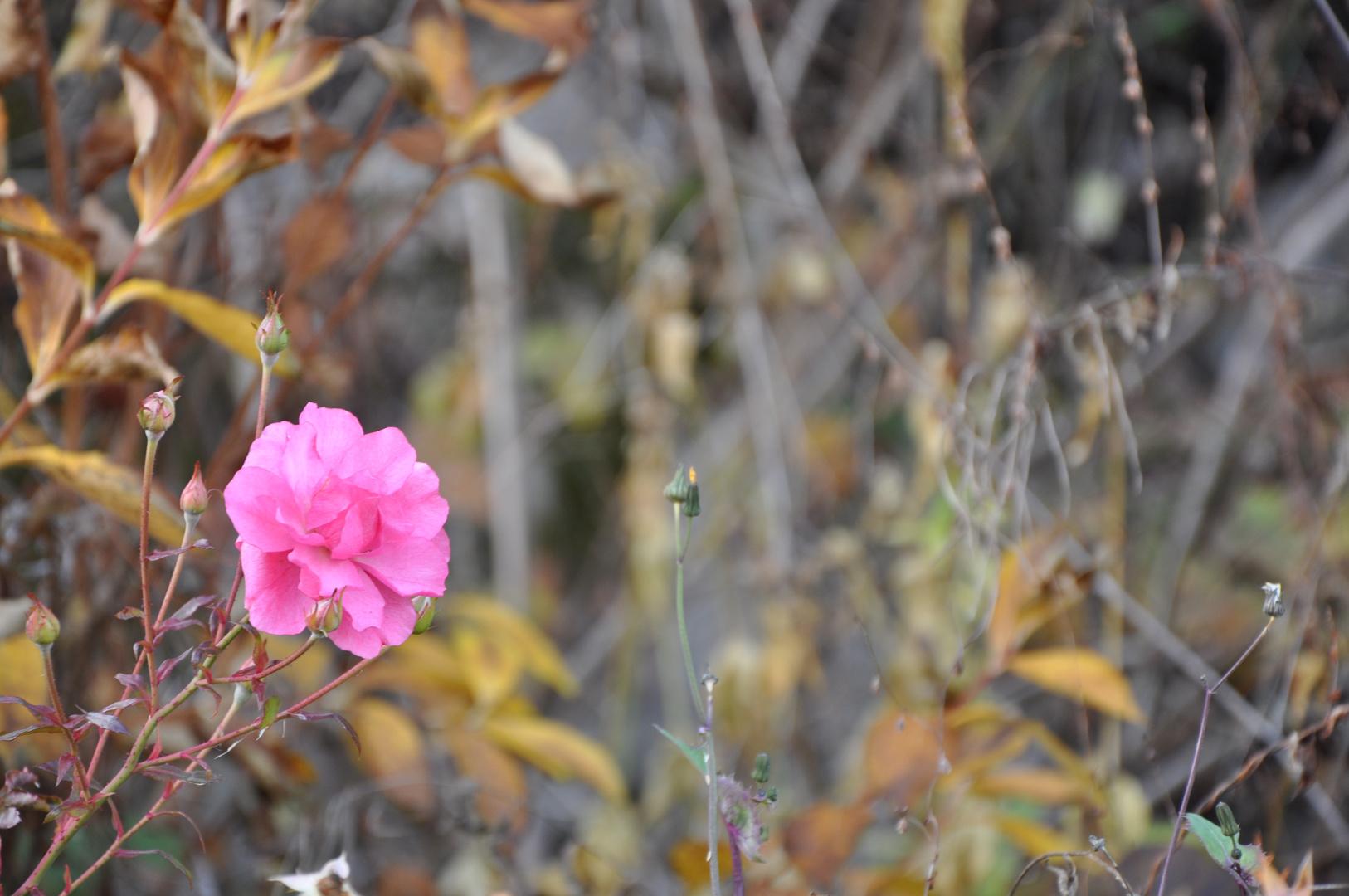 Blühende Rose im November