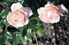 Blühende Rosen vor dem Sonnenuntergang