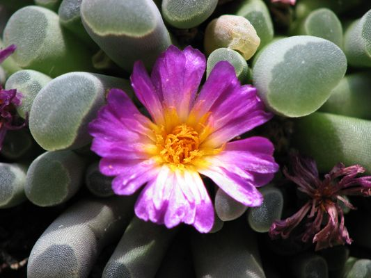 Blühende Steine