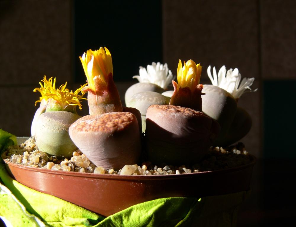Blühende Steine (2)