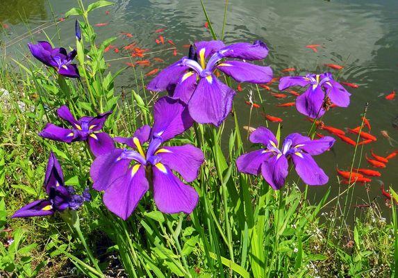 - Blühende Wasserlilien am Gartenteich-