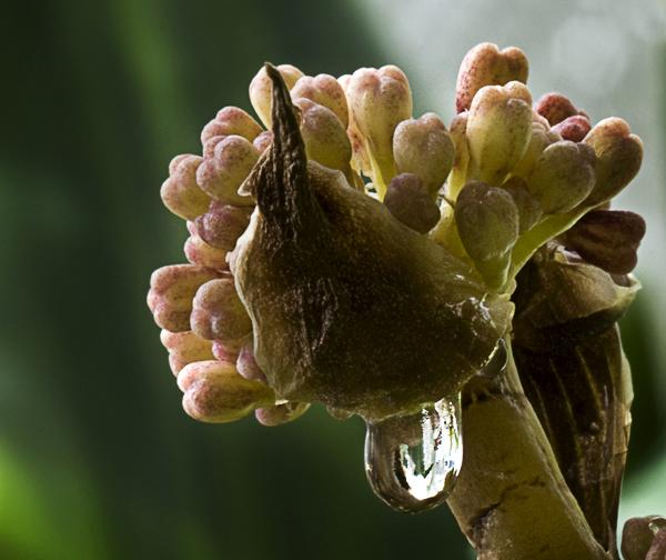 blühende Yuccapalme