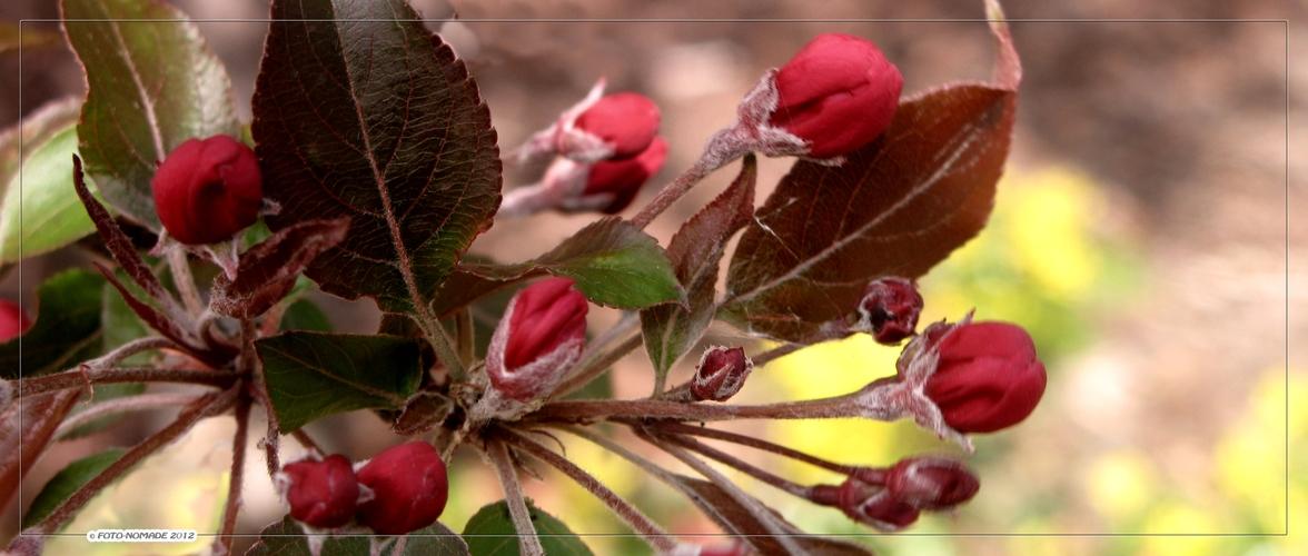Blühende Zieräpfel  ..