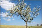 Blühender Baum 2011