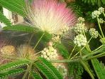 Blühender Baum auf Insel Rab