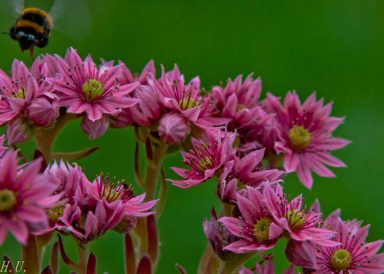 Blühender Hauswurz mit Blütensammlerin